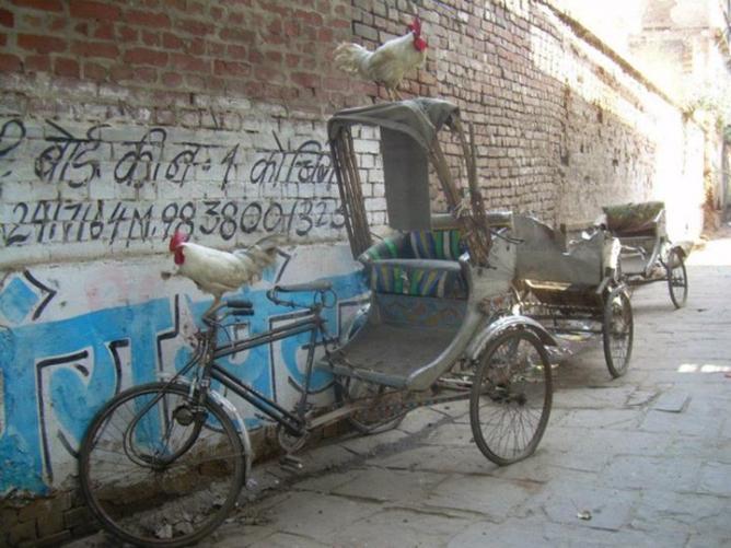 18. Coqs - Inde 2011